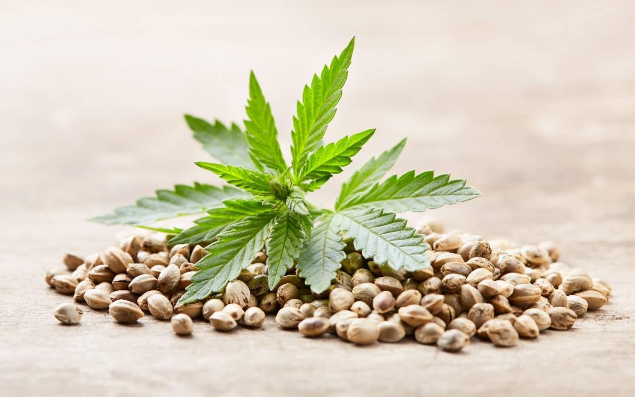 Best Seeds for Growing Marijuana
