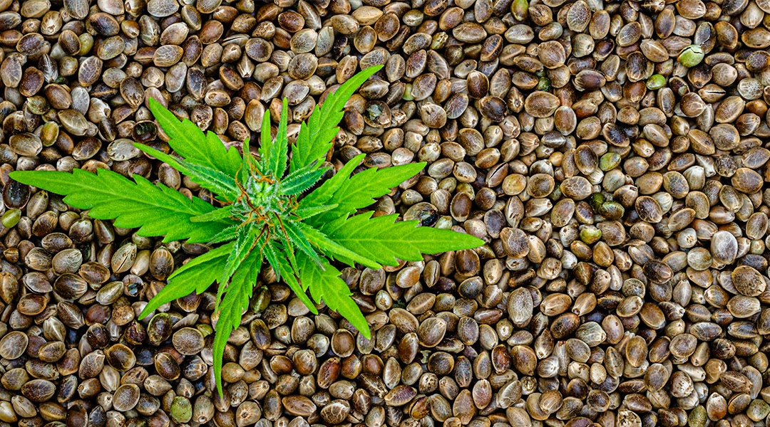 Choosing the Best Seeds for Growing Marijuana