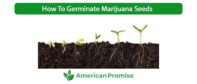 How To Germinate Marijuana Seeds
