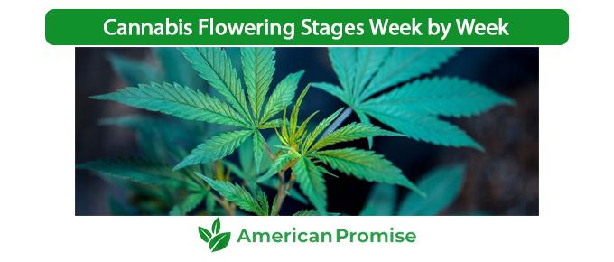 Cannabis Flowering Stages Week by Week