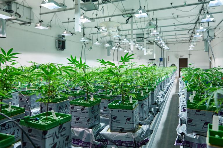 Grow Marijuana Plants
