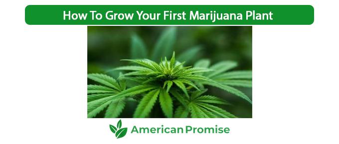 How To Grow Your First Marijuana Plant