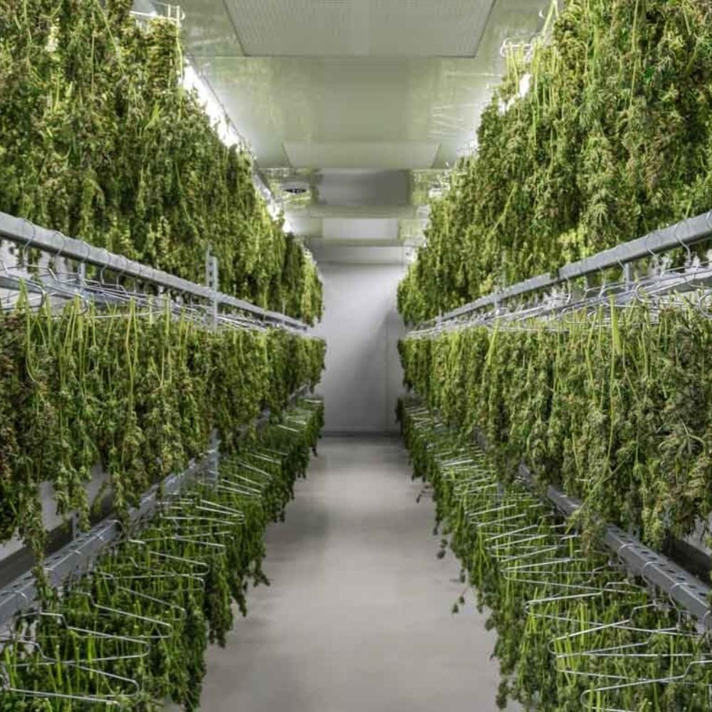 Cannabis Drying Room