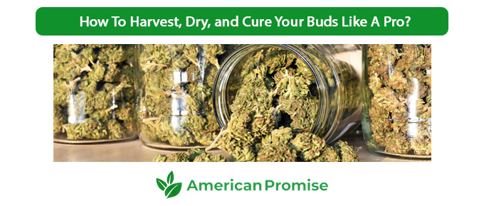 How To Harvest, Dry, and Cure Your Buds Like A Pro