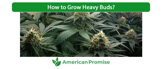 How to Grow Heavy Buds
