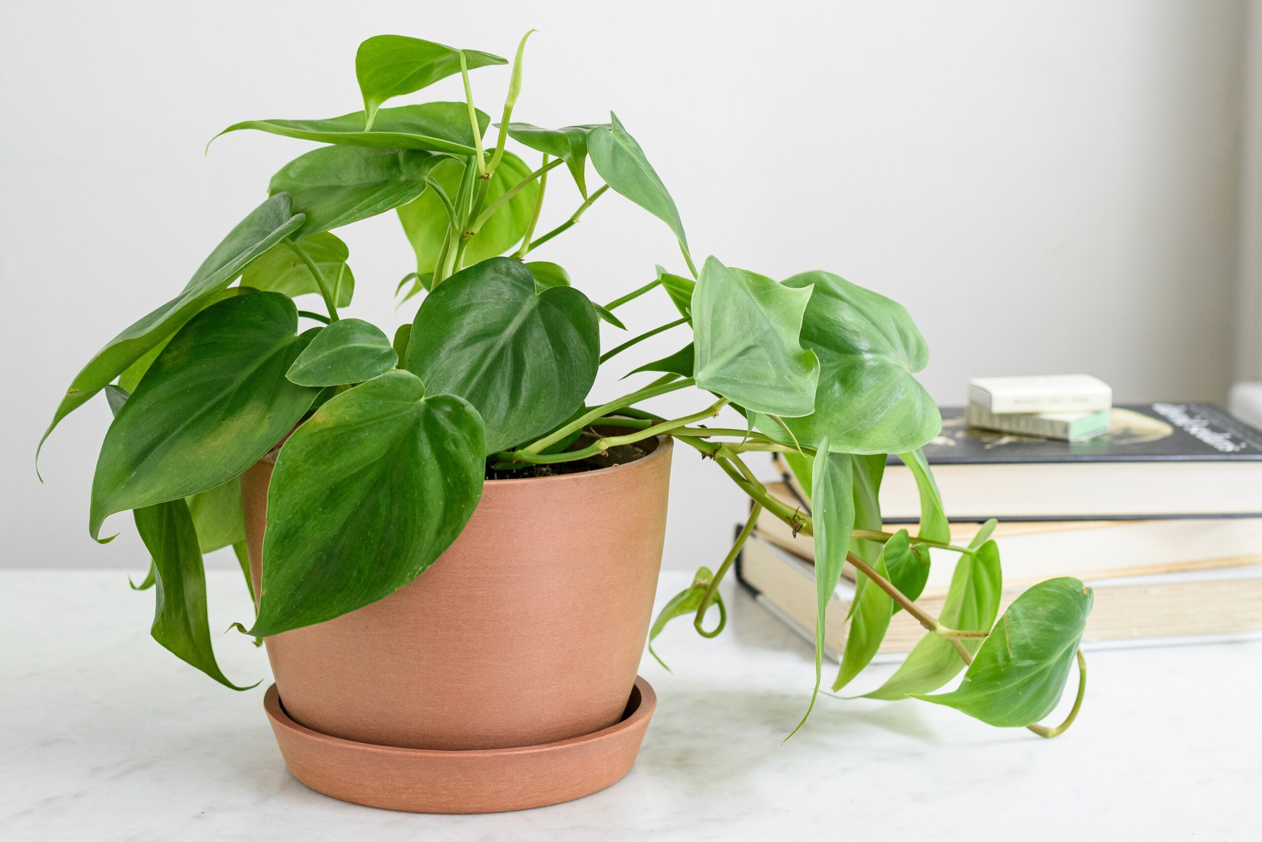 Indoor Philodendron Care