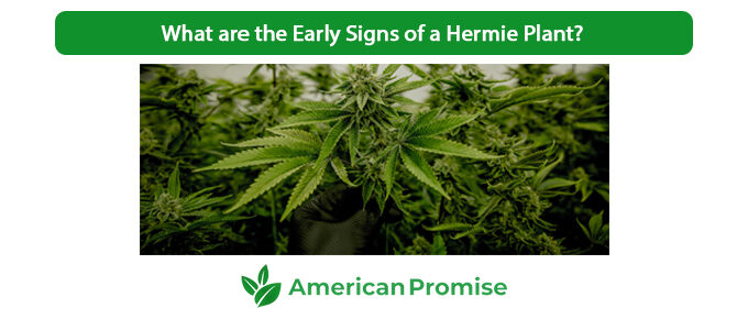 What are the Early Signs of a Hermie Plant