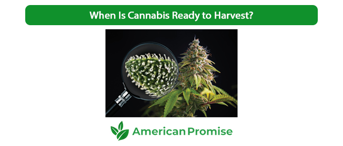 When Is Cannabis Ready to Harvest