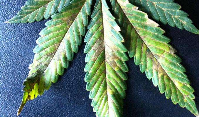 phosphorus deficiency cannabis leaf