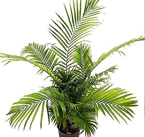 American Plant Exchange Palm Houseplant