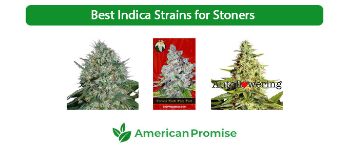 Best Indica Strains for Stoners