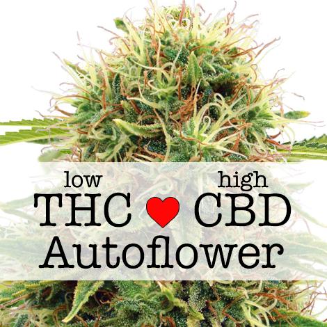 CBD Kush Autoflower