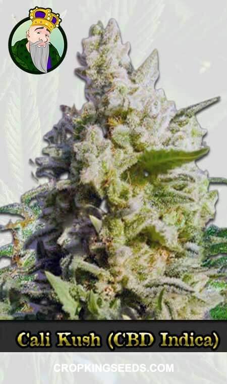 Cali Kush CBD Indica Marijuana Seeds