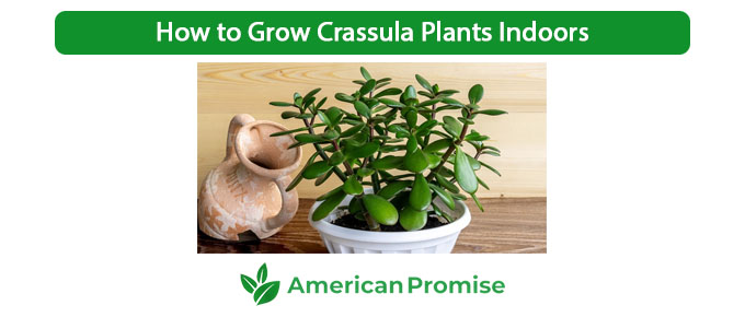 How to Grow Crassula Plants Indoors