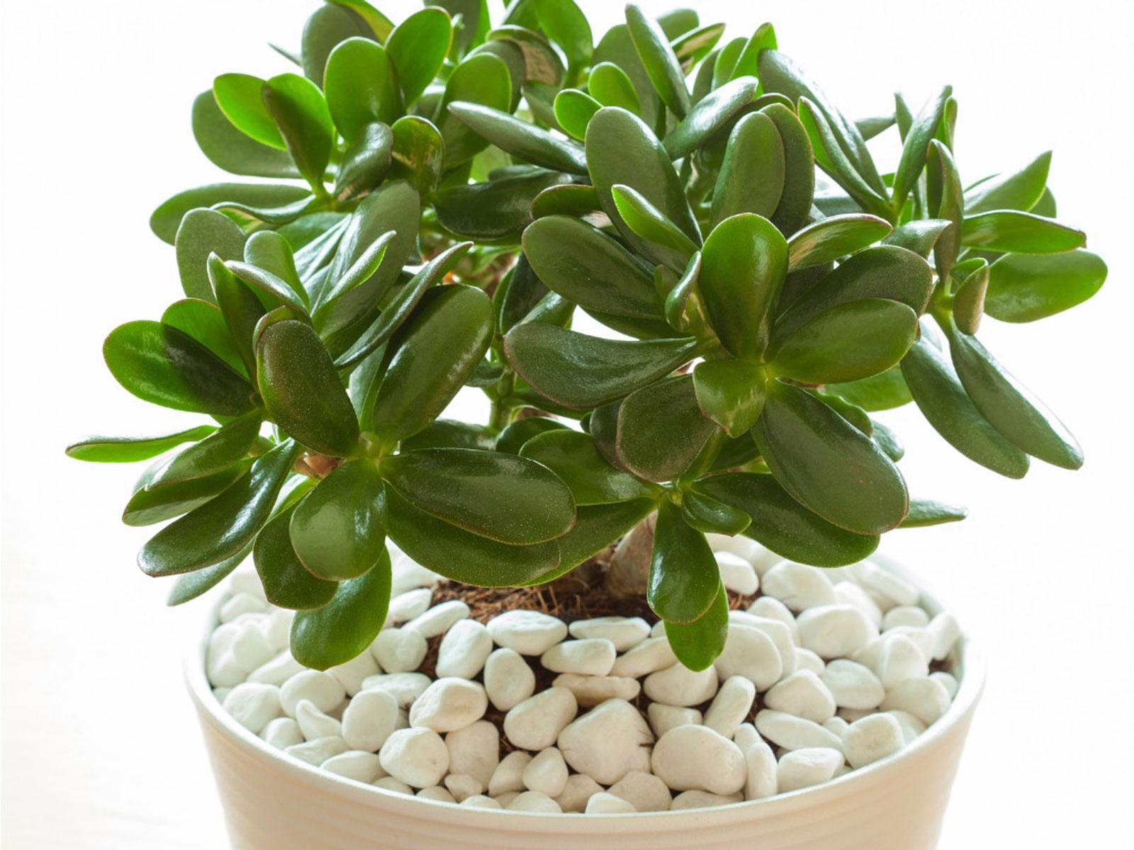 Grow Crassula Plants Indoors