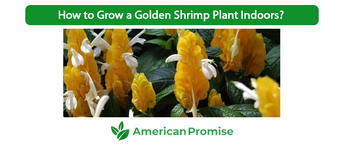 How to Grow a Golden Shrimp Plant Indoors?