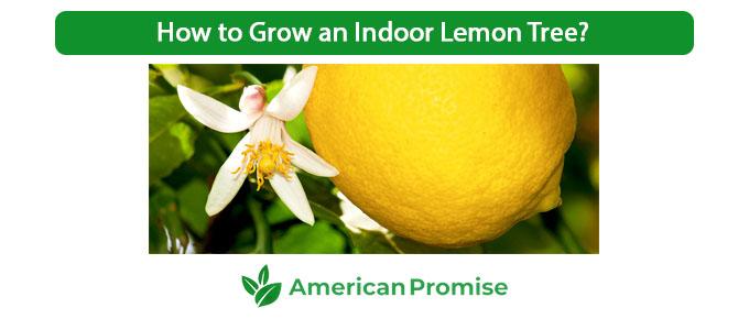 How to Grow an Indoor Lemon Tree?