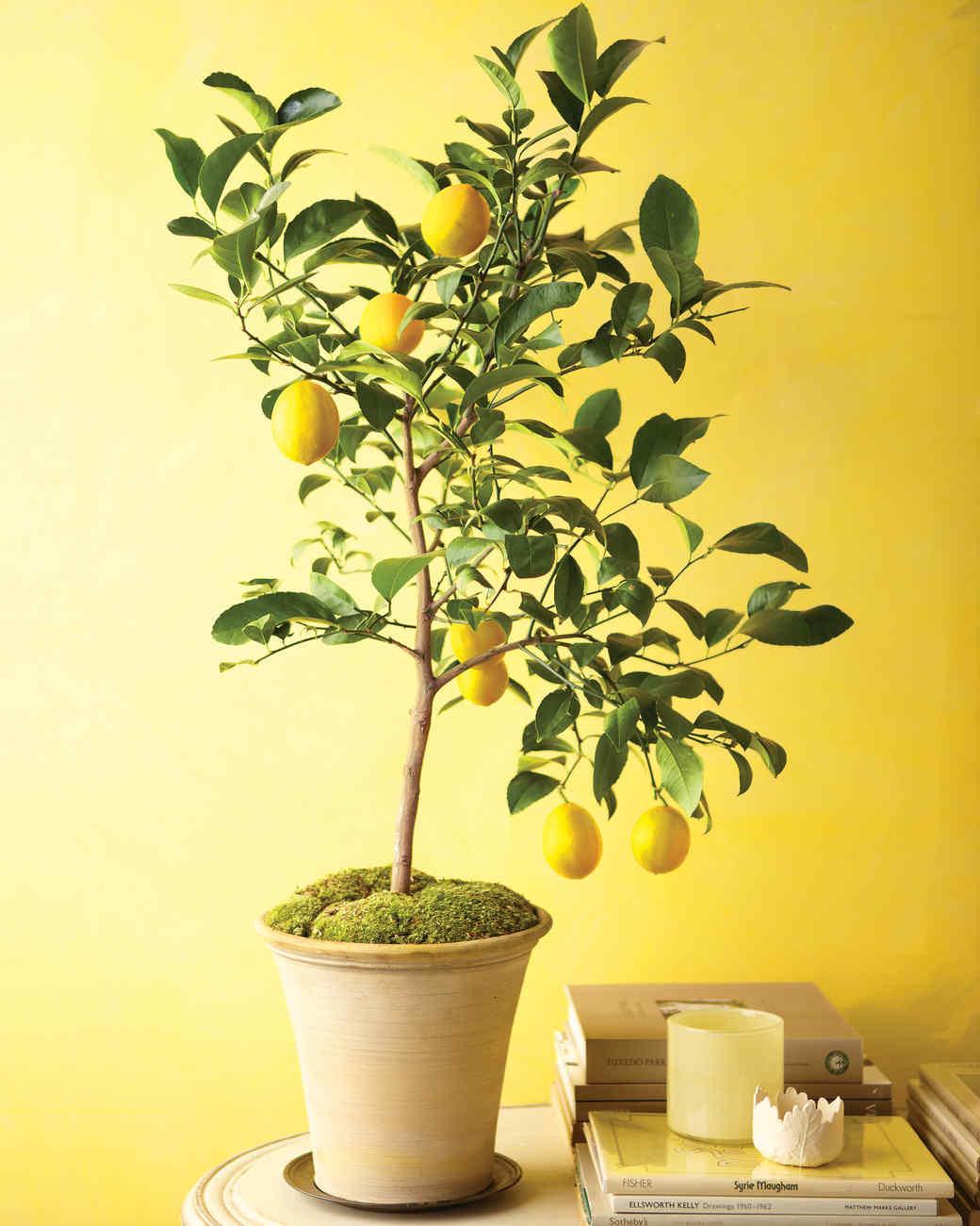 How to Grow an Indoor Lemon Tree