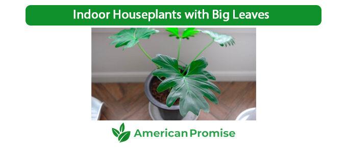 Indoor Houseplants with Big Leaves