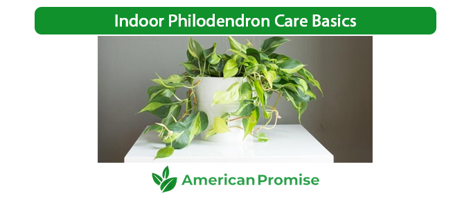 Indoor Philodendron Care Basics