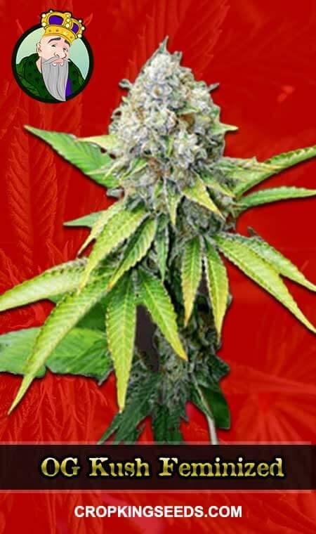 OG Kush Feminized Marijuana Seeds