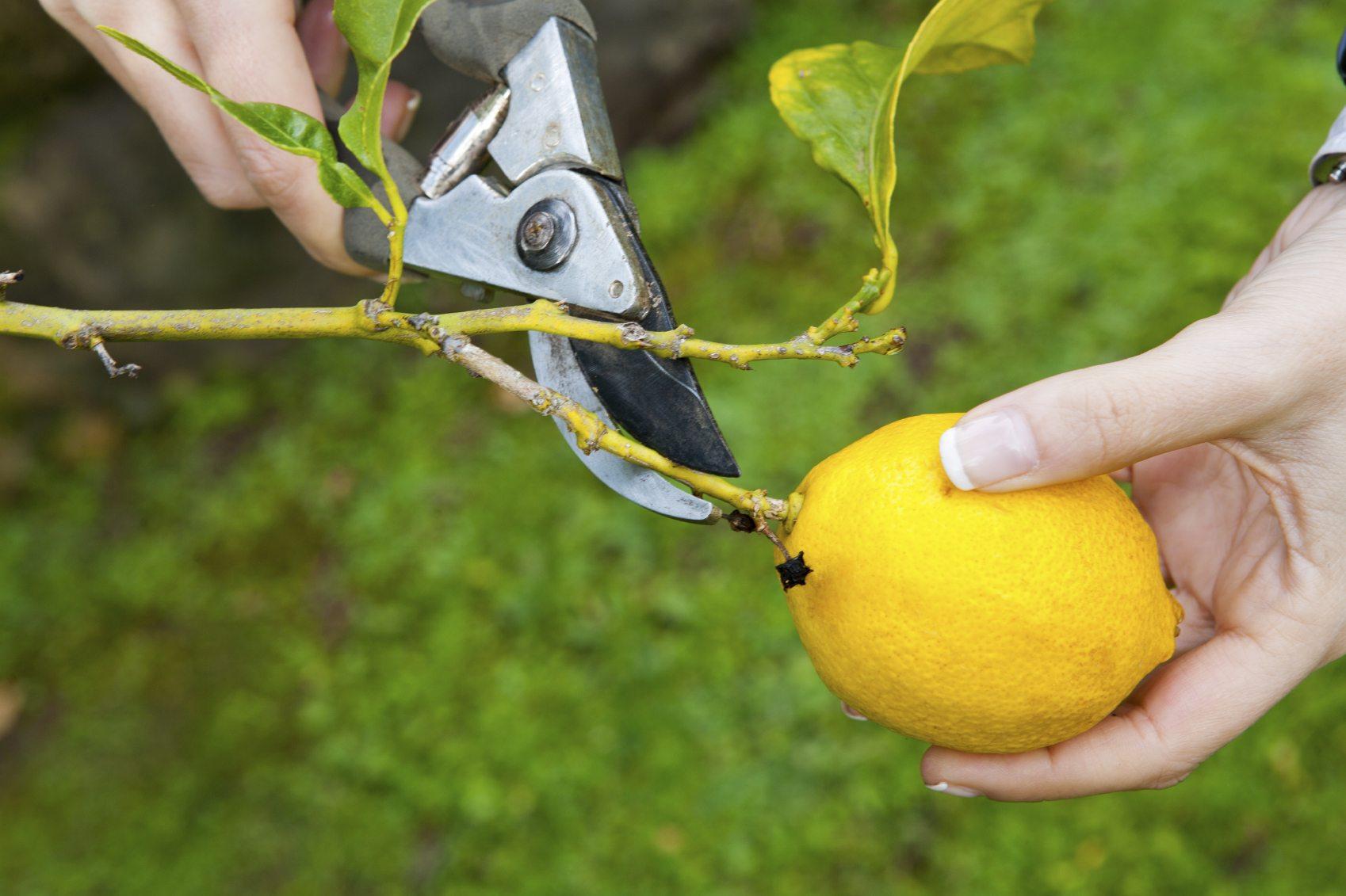 Pruning the Lemon tree
