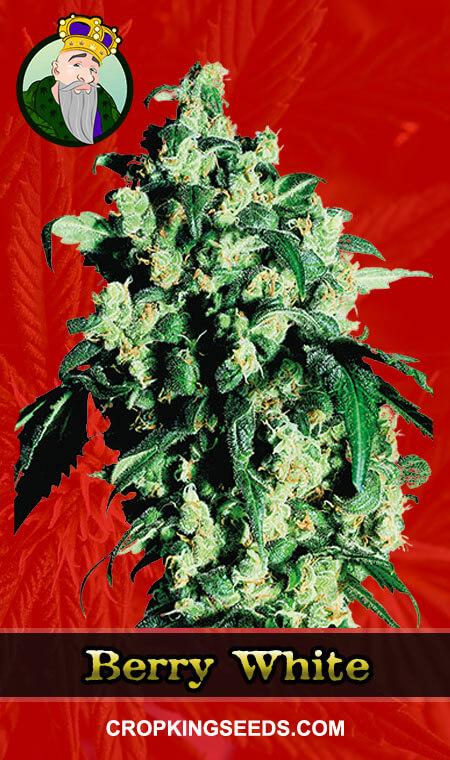 Berry White Feminized Marijuana Seeds