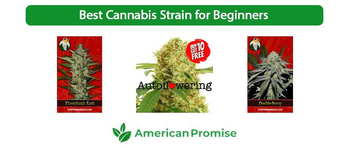 Best Cannabis Strain for Beginners