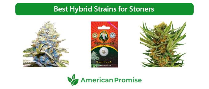 Best Hybrid Strains for Stoners