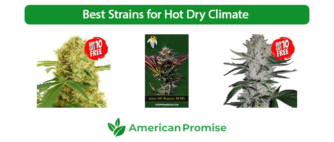 Best Strains for Hot Dry Climate