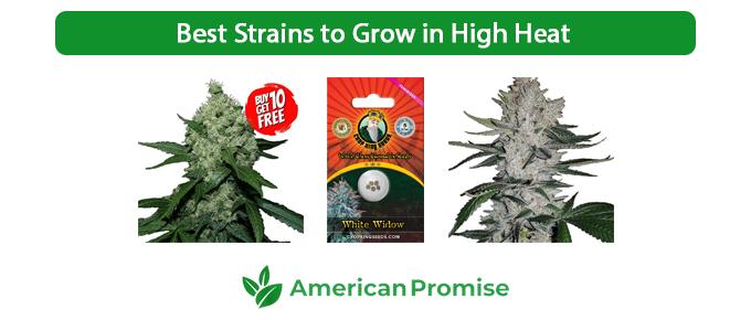 Best Strains to Grow in High Heat