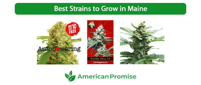 Best Strains to Grow in Maine
