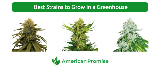 Best Strains to Grow in a Greenhouse