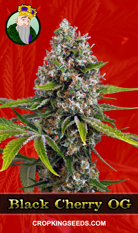 Black Cherry OG Feminized Marijuana Seeds