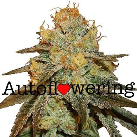 Bruce Banner Autoflower