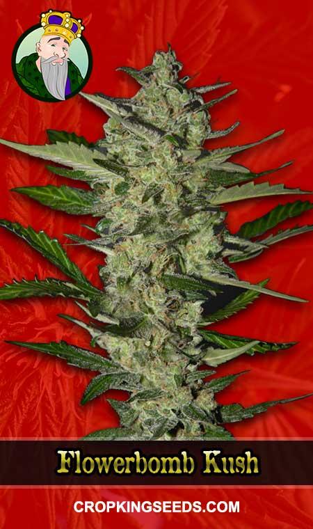 Flowerbomb Kush Feminized Marijuana Seeds