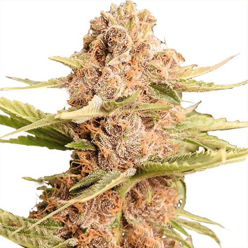 Girl Scout Cookies Extreme Feminized
