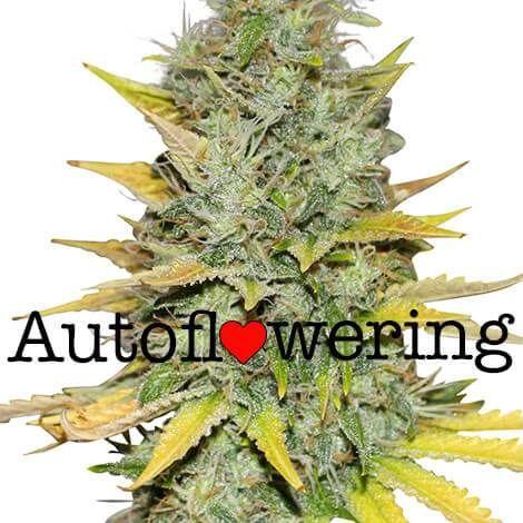 Gold Leaf Autoflower