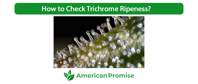 How to Check Trichrome Ripeness?