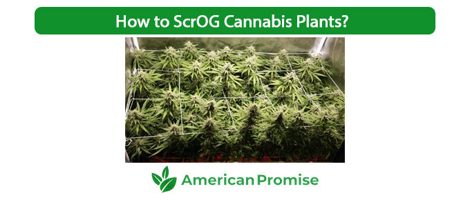 How to ScrOG Cannabis Plants?