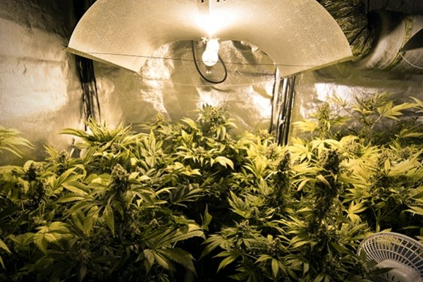Perfect Height for Your Cannabis Grow Lights