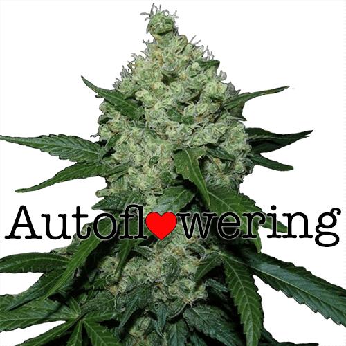 Super Skunk Autoflower